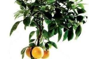 Как ухаживать за лимоном?