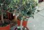 Как вырастить оливковое дерево в домашних условиях?