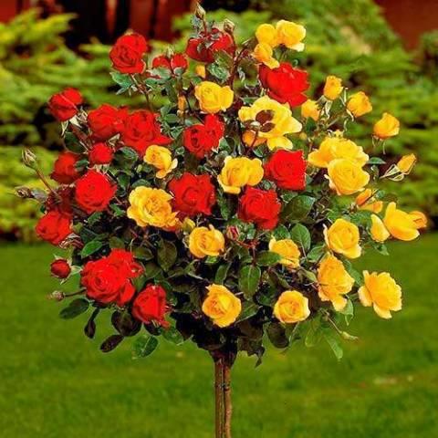 Выращивание и уход за штамбовой розой