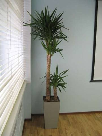 Как правильно ухаживать за пальмой юкка в домашних условиях