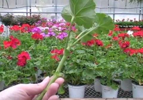 Уход и размножение зональной пеларгонии дома