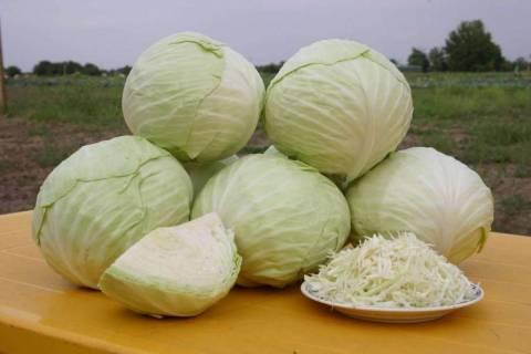 Сорта капусты белокочанной: названия и какие выбрать для посадки?