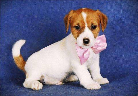 Неугомонные щенки джек-рассел-терьера, развитие и содержание породы