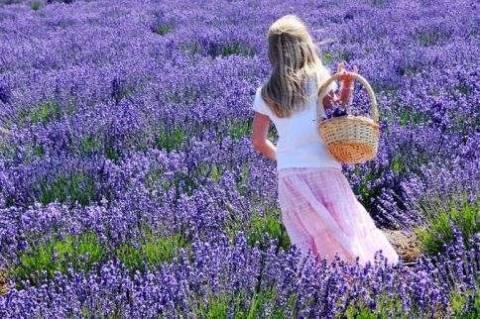 Где растет и когда цветет лаванда в Крыму?
