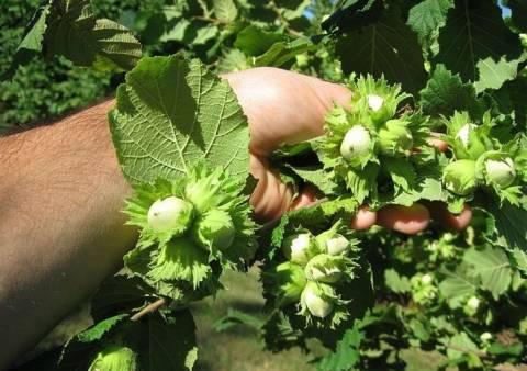 Как правильно размножить фундук черенками, отводками и семенами?