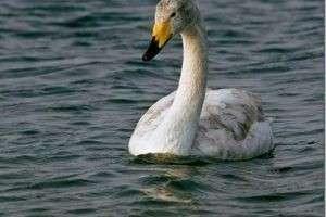 Как отличить гуся от лебедя?