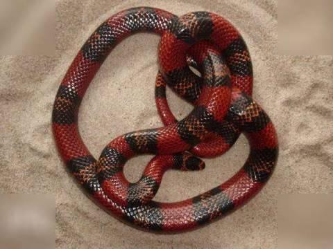 Королевская молочная змея. Уход и разновидности