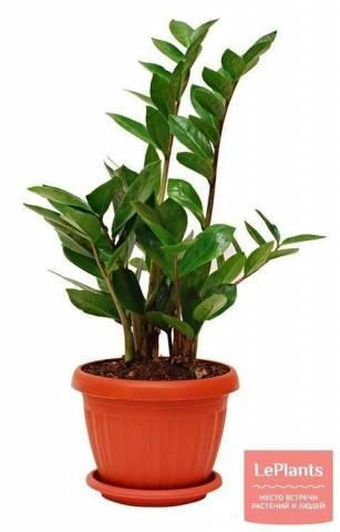 Долларовое дерево Замиокулькас: уход и размножение в домашних условиях