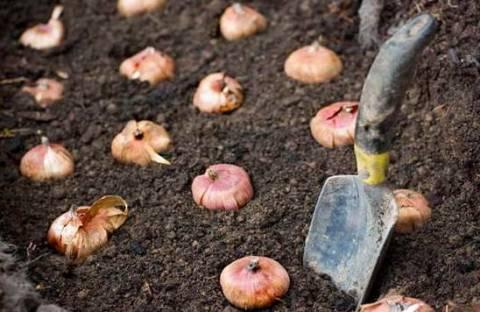 Подготовка к высадке и посадка гладиолусов весной: что и как?