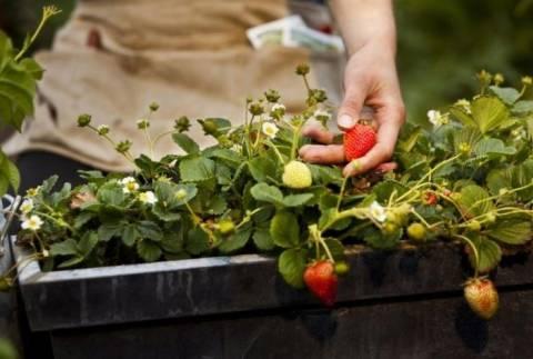 Ягоды на подоконнике: как вырастить клубнику у себя дома?
