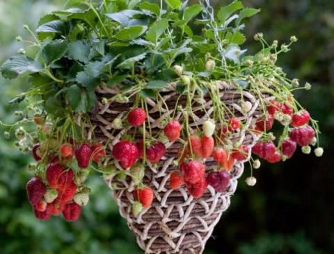 Как выращивать ампельную клубнику у себя на участке?