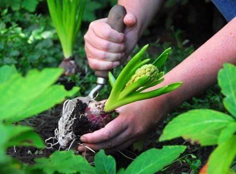 Посадка гиацинтов весной: рекомендации начинающим цветоводам