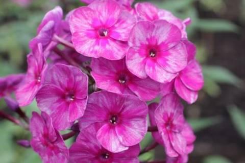 Способы посадки флоксов весной и секреты выращивания