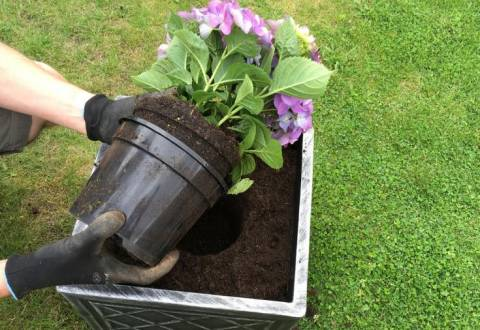 Посадка гортензии весной: секреты от опытных цветоводов