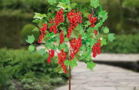 Полезное для садоводов: как вырастить смородину на штамбе?