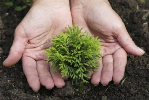 Как сажать семена туи и можно ли вырастить растение таким способом?