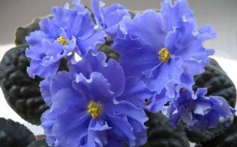 Пересадка узамбарской фиалки: как не навредить растению?
