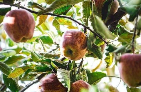 Устойчивые сорта яблок: какие выбрать?