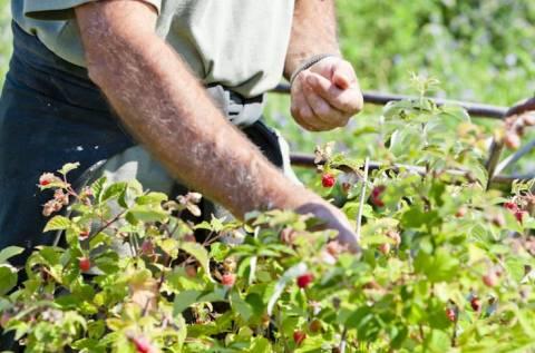 Почему малина мелкая: главные причины плохой урожайности
