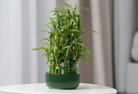 Бамбук для дома: можно ли вырастить у себя на подоконнике?