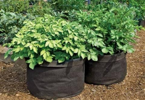 Посадка картофеля весной: нетрадиционные способы выращивания