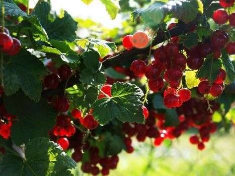Чем подкормить смородину от вредителей и болезней?