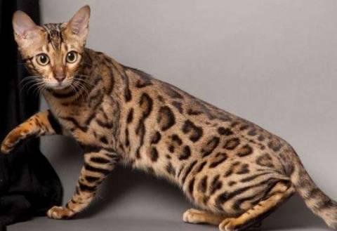 Бенгальская кошка: описание породы, выбор котенка и уход