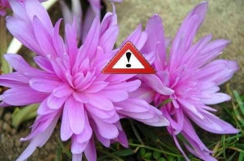 Безвременник - это ядовитое растение?