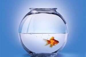 Золотая рыбка - чем не подарок?
