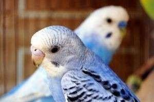 Как ухаживать за волнистым попугаем — с любовью и заботой