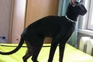 Как ухаживать за ориентальной кошкой?