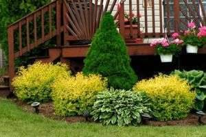 Наш зеленый сад: посадка и уход за туей