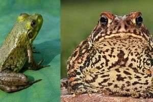 Чем отличается жаба от лягушки: разные семейства одного отряда