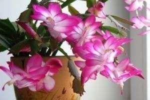 Почти кактус по имени декабрист: уход в домашних условиях, все о цветении пересадке и болезнях