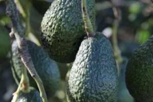 Выращиваем авокадо из косточки: экзотическое растение у вас дома