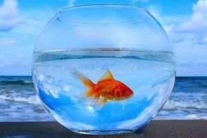 Родиной золотой аквариумной рыбки: откуда приплыла яркая красавица