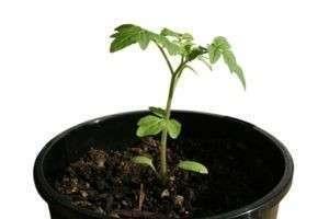 Как ухаживать за рассадой помидоров и сохранить ее здоровой