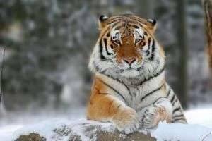 Амурский тигр: численность в 2014 году достигла пяти сотен особей
