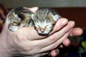 Когда у котят открываются глаза,отчего это зависит и какие могут быть отклонения