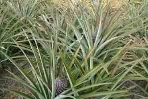 Где растут ананасы: в какой стране и местности?