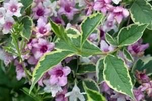 Розовое облако вейгелы – посадка и уход в вашем саду