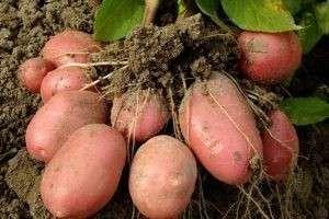 Как посадить картошку и правильно подготовиться к этому процессу?