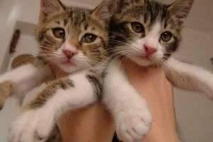 Приучить котенка ходить в лоток: воспитываем питомца с любовью