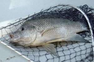 Ловим рыбу мечты, или Как сделать прикормки для леща своими руками