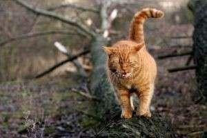 Сколько гуляет кошка в первый раз и как распознать течку?