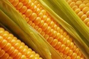 Полезные свойства кукурузы — чем удивляет гостья из Америки?