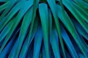 Голубая агава: как из нее получают сок и какие напитки производят на ее основе