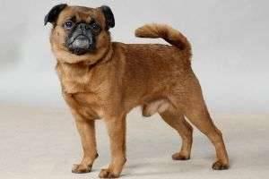 Описание породы собак пти-брабансон: их характер, особенности ухода, дрессировки и питания