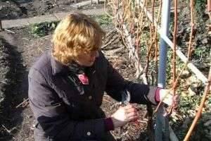 Уход за теплолюбивым растением, или Как обрезать виноград на зиму