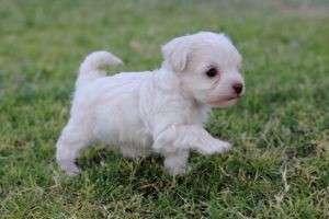Приучение щенка к пеленке: важный психологический аспект воспитания